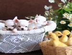 Advertentie: (E-mail: kcpuppyeu@gmail.com) Koop chihuahua-puppy's en mini-chihuahua's te koop