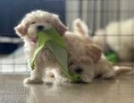 Anuncio: (Correo electrónico: kcpuppyeu@gmail.com) Comprar cachorro maltipoo