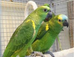 Blue Fronted Amazon Parrot With Cage