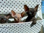 Sphynx kittes for sale