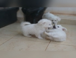 Toy Poodle Cross Pomimo Puppies